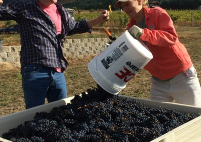 Debbie Harvests Pinot Noir