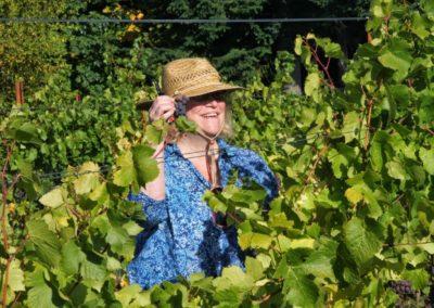 Sue Harvesting Pinot Gris