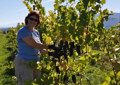 Lisa Harvesting Pinot Noir