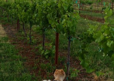 Pumba surveying the Pinot Gris